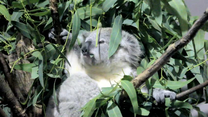 Koala Bear In A Tree Chewing Leaves At An Indoor Zoo Exhibit
