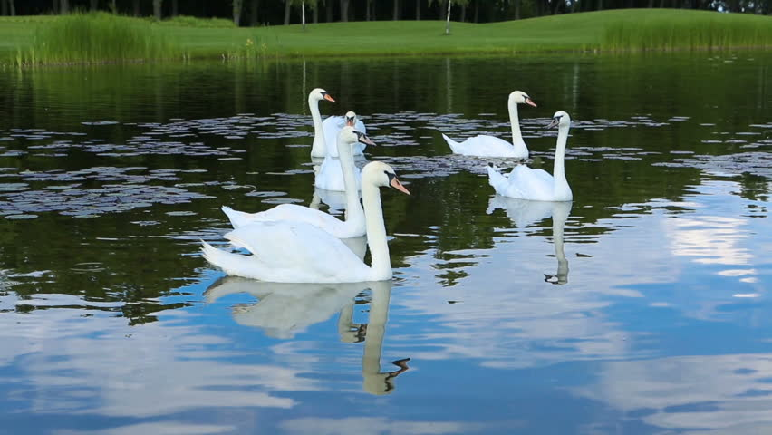 Swans swimming in the pond. Video footage | Shutterstock HD Video #28346539