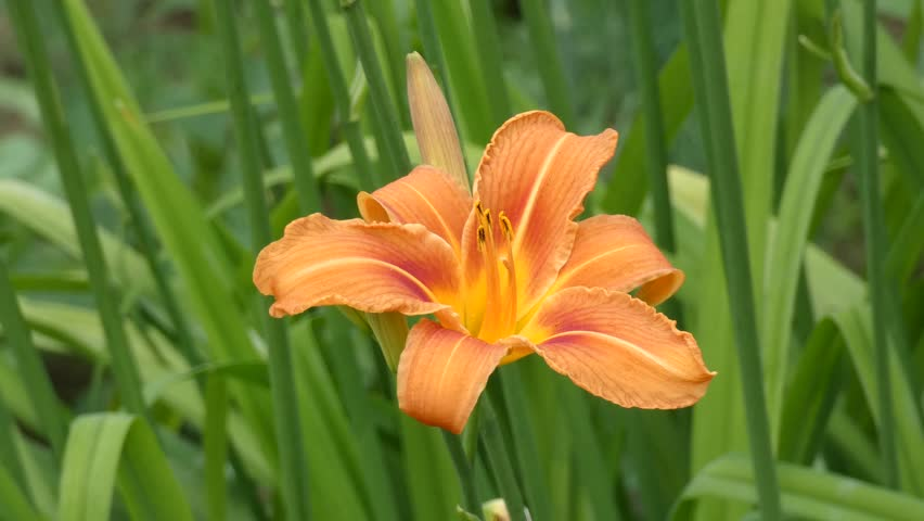 Lily Flower Sway in the Wind. Orange colored flower swinging. Garden in the background.