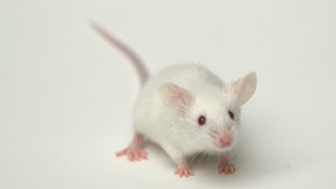 White mouse is cleaned and runs on a white background
