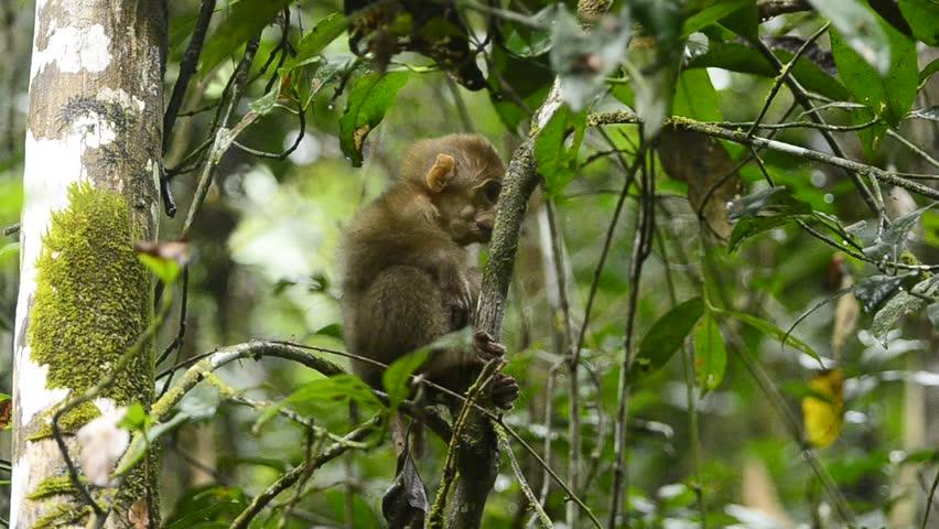 Assam macaque,monkey in winter season
