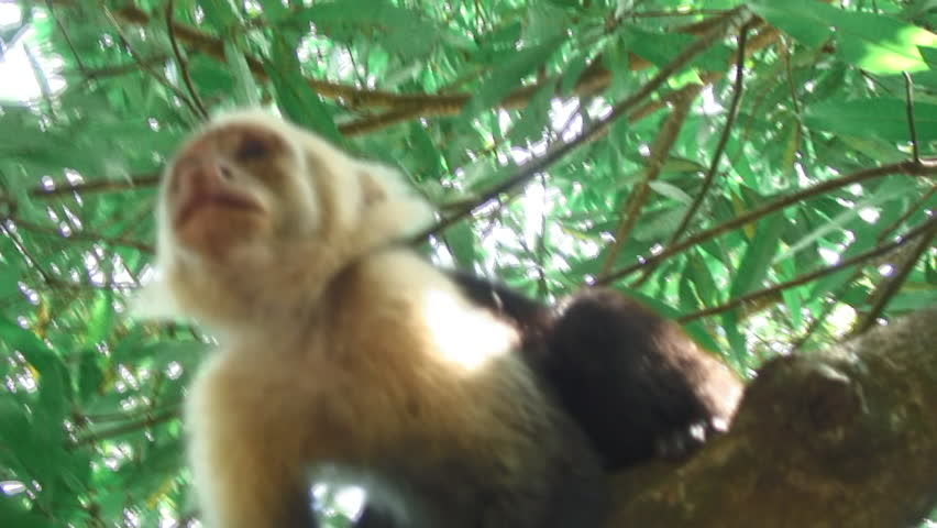 White-Headed Capuchin Monkey Walking On A Tree Branch In Uvita, Costa Rica