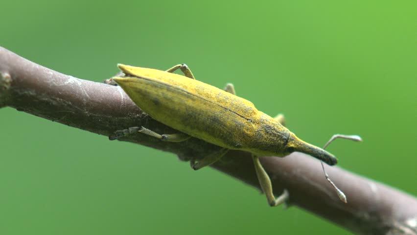 Header of Lixus concavus