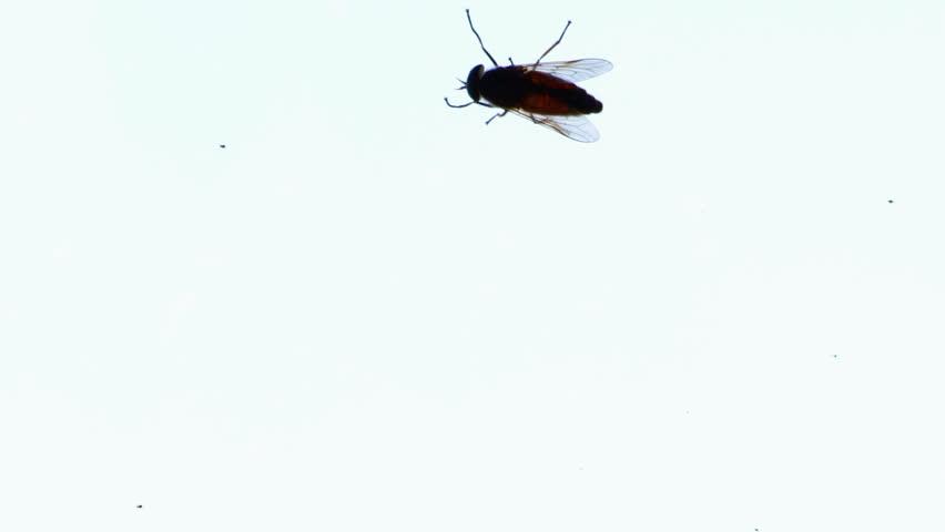 Big fly horsefly crawls on the glass. Tabanidae.