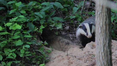 European badger. Couple digging their hole. Animal in summer forest. Meles meles.