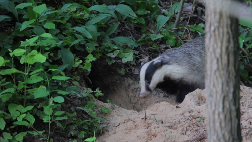European Badgers digging their hole. Meles meles.