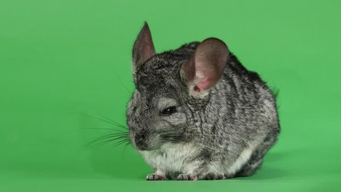 Gray chinchilla, human hand stroking soft wool. Green screen background
