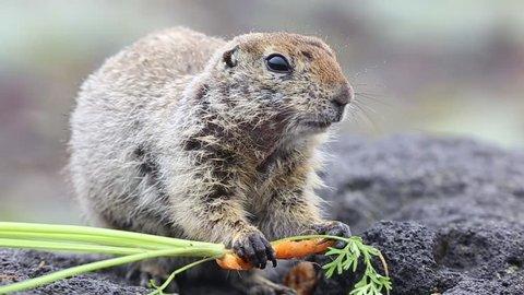 American gopher eating carrots, Kamchatka