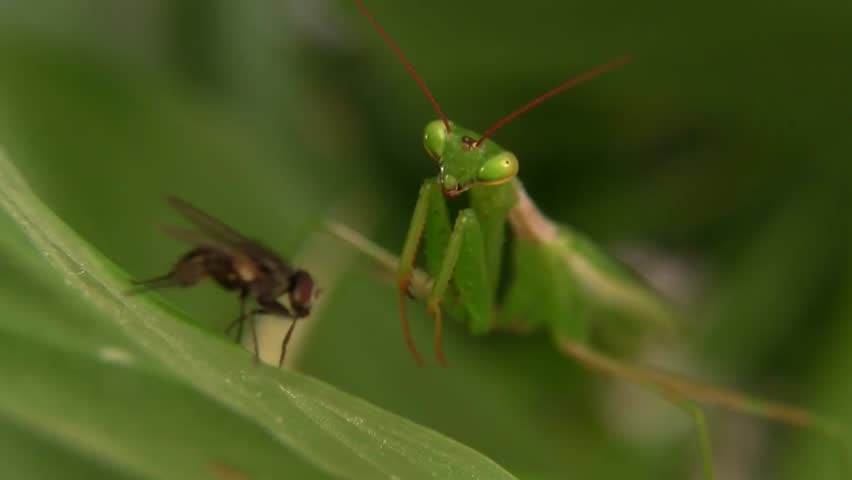 Macro Close up of a Praying Mantis catching and then eating a housefly.