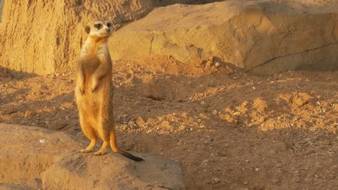 Ungraded: Meerkat with nose stained in the sand stands on its hind legs under the rays of the sunset against background of sand and stones and twists its head, examining everything around.