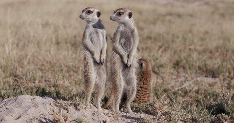 Three cute baby meerkats,one sitting,one sleeping on top of their burrow,Botswana