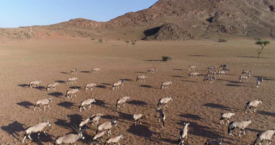 Fly over aerial view of gemsbok (oryx) in the   NamibRand Nature Reserve
