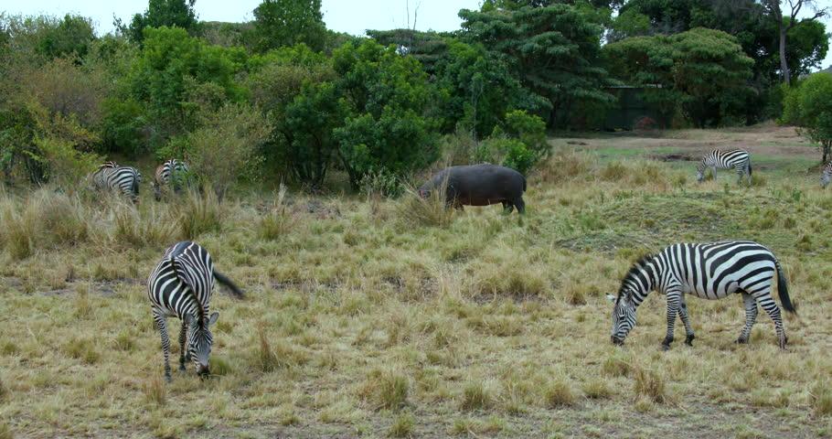 Burchell Zebras & Hippopotamus Grazing; Maasai Mara Kenya Africa