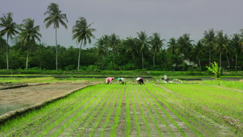 agriculture workers in rice fields in Bali with palm trees in background