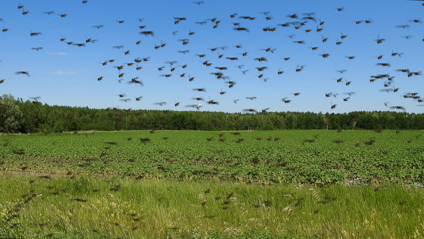 Swarm of locust flying over field