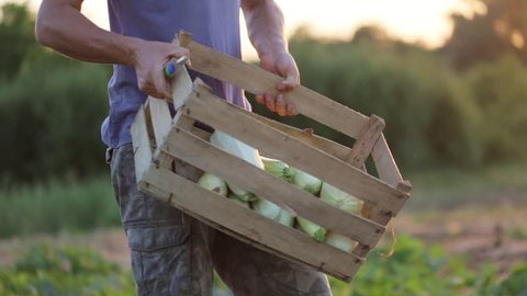 Young farmer in hat going on the field with wooden box of organic vegetable marrow and puts it on the ground. Working process on the eco farm at sunset light.