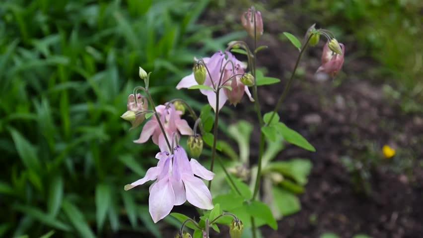 Flowers Aquilegia vulgaris or European Columbine in wind in the flowerbed.