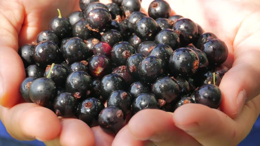 Farmer's hands full of organic black currant berries in UHD