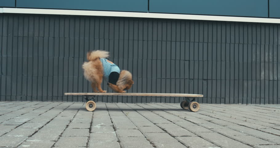 Funny cute Pomeranian Spitz dog puppy riding on a longboard skateboard outdoors. 4K UHD RAW edited footage #29068489