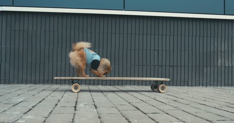 Funny cute Pomeranian Spitz dog puppy riding on a longboard skateboard outdoors. 4K UHD RAW edited footage