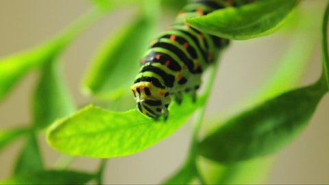 a superb detailed macro footage of a green Caterpillar (of Papilio / swallowtail  butterfly) standing / climbing / eating a leaf on a branch /twig / tendril