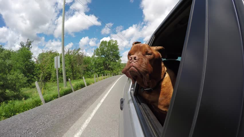 cute dogue de bordeaux enjoys car ride with head out window 4k, go #29184619