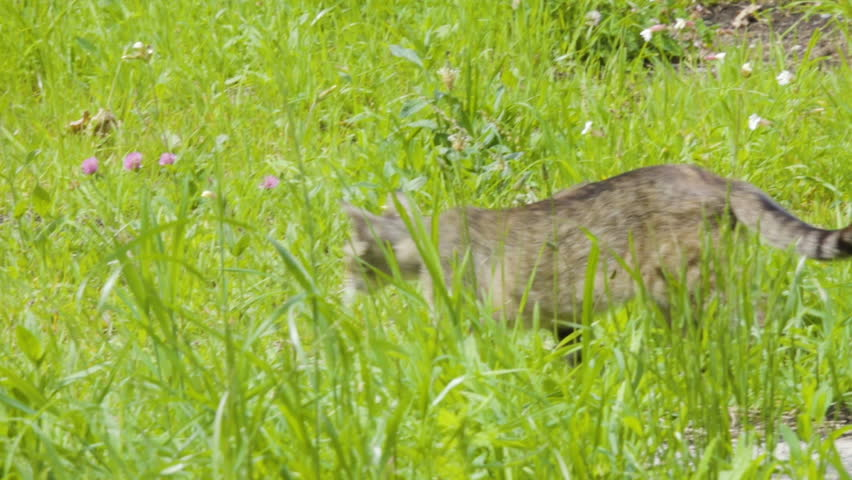 The cats runs in search of prey. Cat go and jumping in grass. Grey cat playing on the grass. Feral Cat prowling in green grass.
