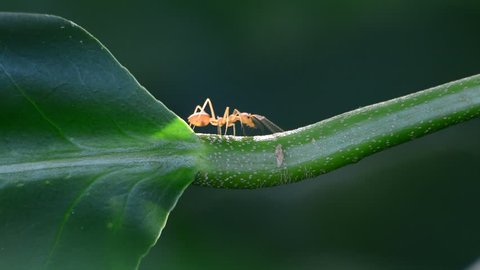 Red ant walking on a green branch.