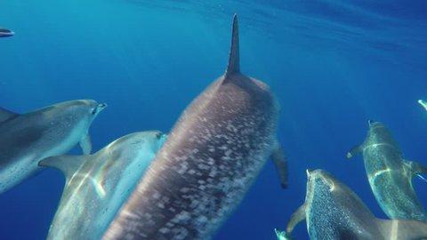 4K. Submarine. Group of bottlenose dolphins, Tursiops truncatus, playing in the Atlantic Ocean.