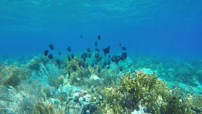 Blue Tang in St. John, U.S. Virgin Islands