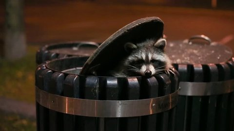 A raccoon scavenging through trash cans at night.