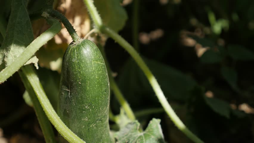 Green organic creeping plant of cucumber 4K 2160p 30fps UltraHD footage - Gourd family  Cucurbitaceae in the garden 3840X2160 UHD video | Shutterstock HD Video #29347969