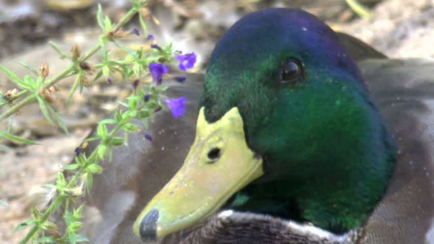 Mallard duck face, close up, curious, quacks.. 1080p