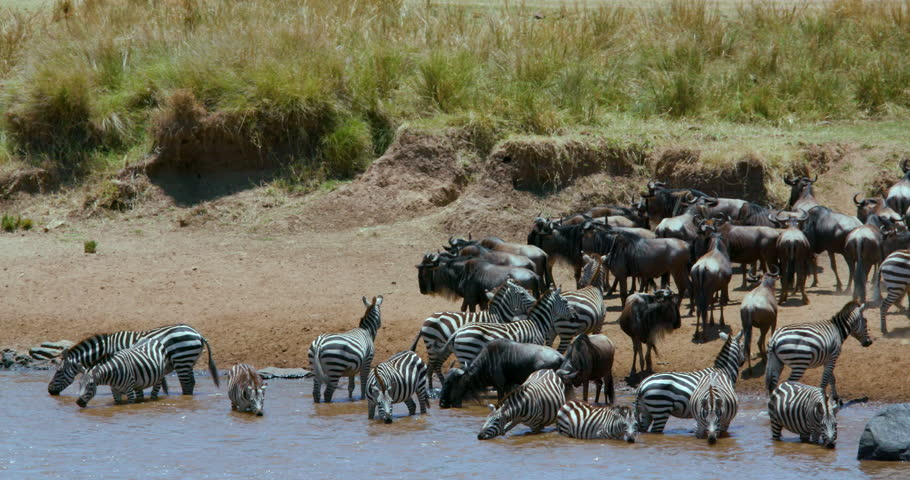 Burchells Zebras & Blue Wildebeest Drinking; Maasai Mara Kenya Africa