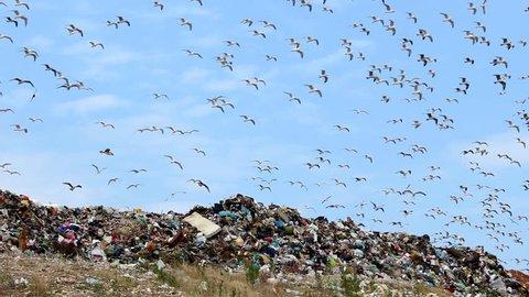 Seagulls, trash and sky  Description: Seagulls on landfill