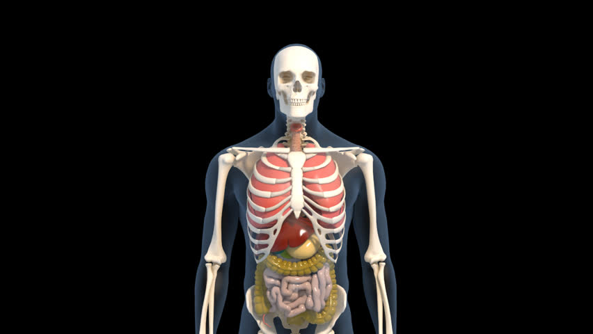 Animated transparent 3D human male spinning on the spot on black background with skeleton, ribs, liver, stomach, large and small intestine visible | Shutterstock HD Video #2960719
