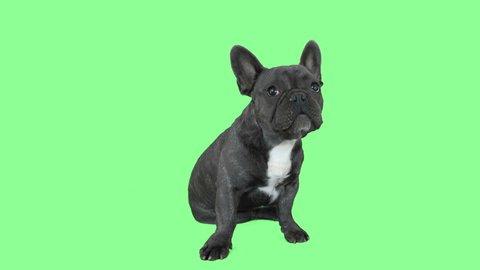 Funny bulldog sitting on a green screen