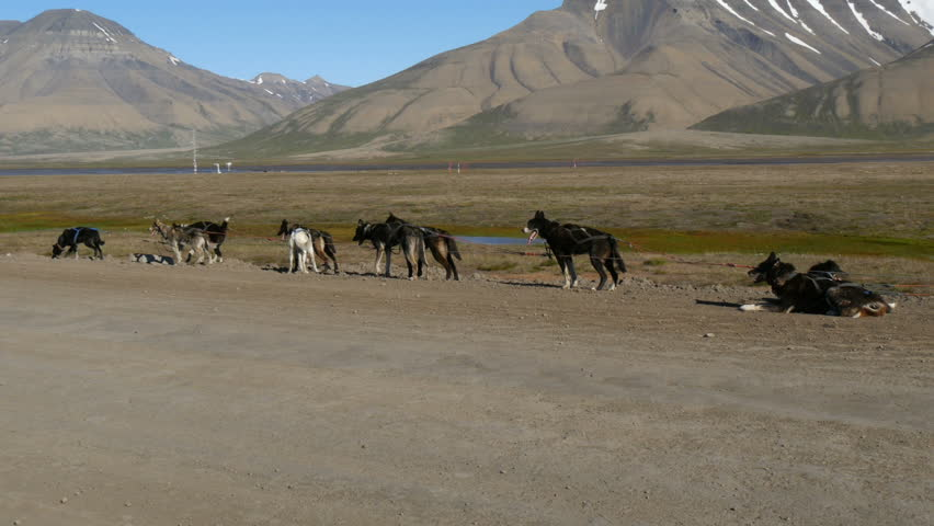 group of sled dogs on gravel road at svalbard in longyearbyen in summer - 4K stock video clip