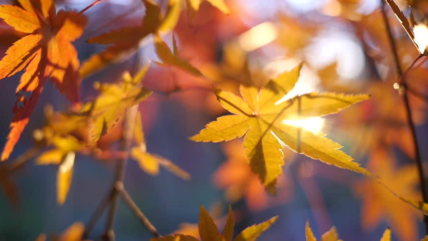 Golden Autumn Leaves Closeup Background - Sunlight streams through yellow-orange autumn leaves as they sway slightly in this closeup beautiful background