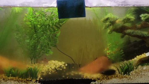 Algae being cleaned off aquarium tank glass with blue brush