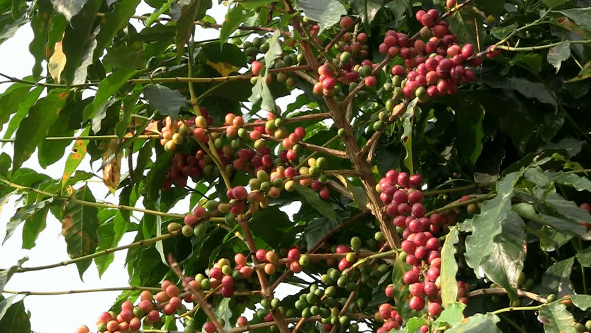 Coffee cherries (beans) ripening on a coffea tree branch