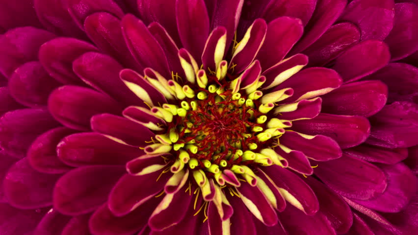 Blooming Red Flower. Close-up time lapse of a Zinnia Flower.
