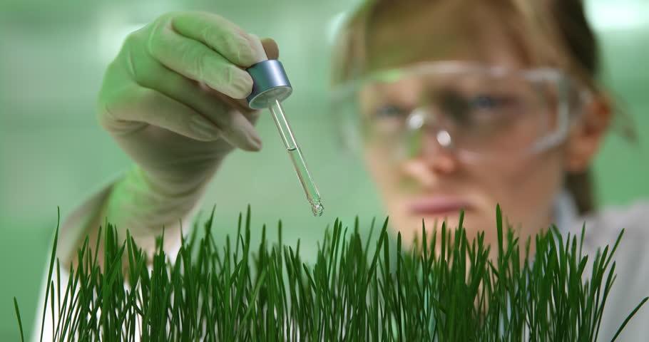 4K Closeup of biochemist woman pipe organic wheat ,growing genetic plants tester job
