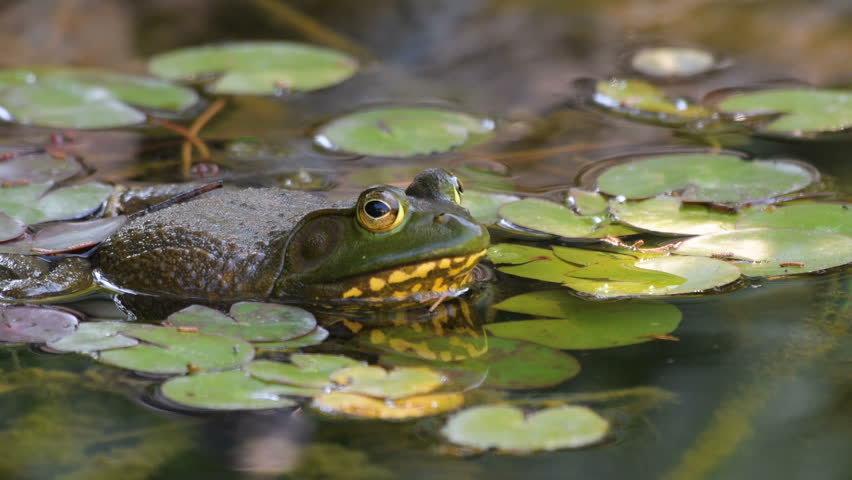 American Bullfrog - Lithobates catesbeianus - in a pond full of lilies croaking.  Frog makes his call look for females.