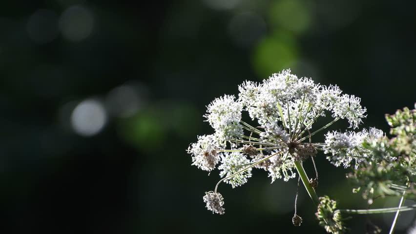 Detail of a white elderflower flower head in a forest