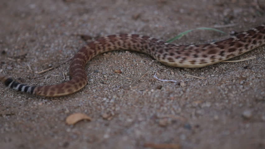 A young western diamondback rattle snake slithers through the sandy frame