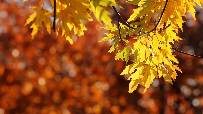 Yellow Maple Tree Leaves In Stock Footage Video 100