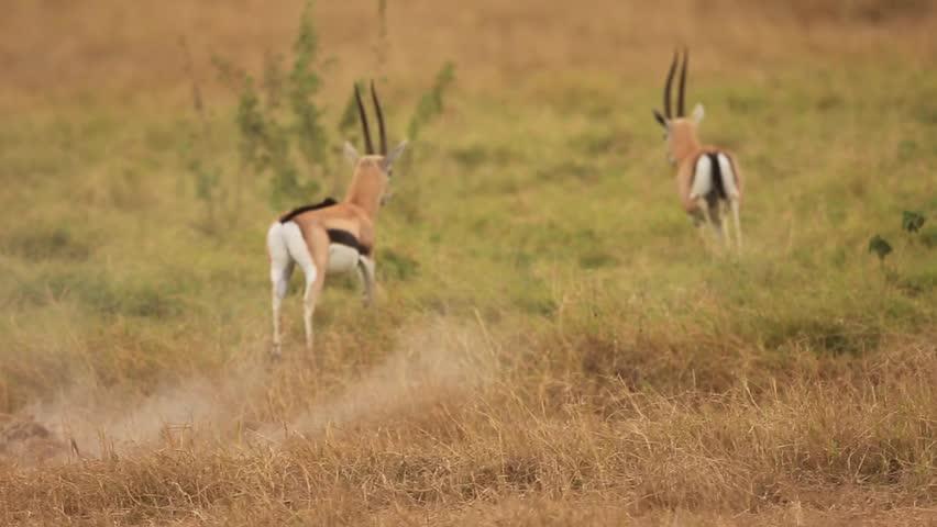 Header of gazelle