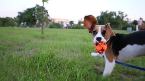 Playful young beagle bouncy run with toy at park, slow motion POV shot. Happy doggy have good time outing at evening hour. Long funny ears fly around, dog look back and rush forward