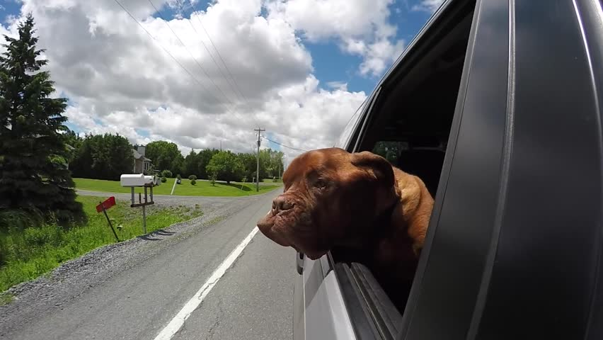 dog with wind in his face hilarious car ride